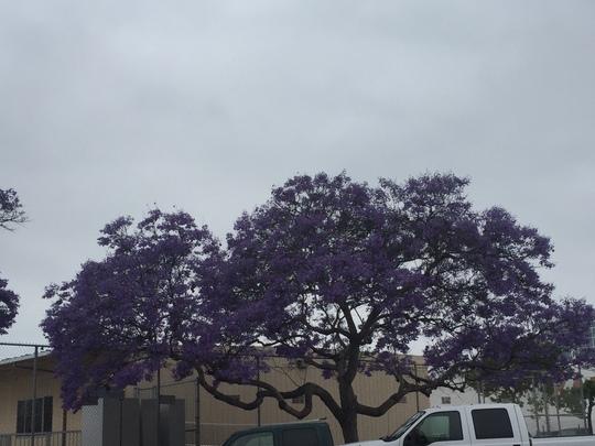 Jacaranda mimosafolia - Jacaranda Tree (Jacaranda mimosafolia - Jacaranda Tree)