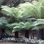 Tree Ferns Linton Zoo