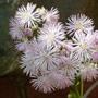 Thalictrum aquilegiifolium