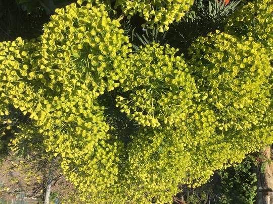 Euphorbia Charicias wulffenii