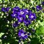 Senico cineraria (Senecio cineraria (Senecio))