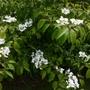 Viburnum mariesii
