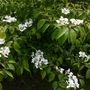 Viburnum plicatum 'Mariesii'.