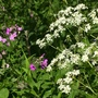 Sweet Rocket and Cow Parsley
