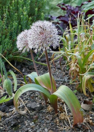 Allium karataviense - 2019 (Allium karataviense)