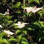 Cornus stellar pink