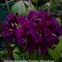 _purple_rhodo_aa_5_4