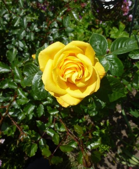 Rosa 'Gloria Dei'  (Peace)