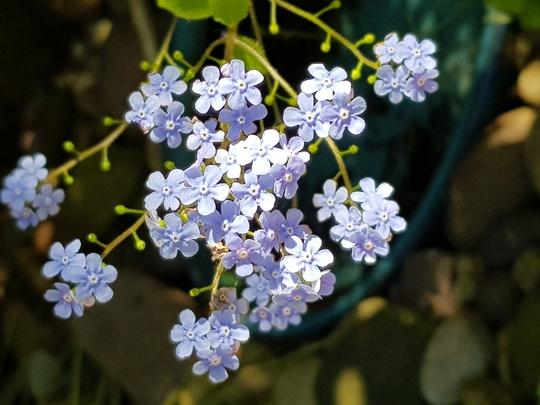 Brunnera silver spear flowers. (Brunnera macrophylla (Brunnera))