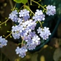 Brunnera silver spear flowers. (Brunnera macrophylla (Brunnera))