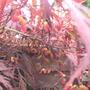 Flowering acer