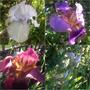 Bearded Iris..