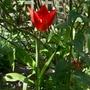 Tulipa sprengeri - 2019 (Tulipa sprengeri)