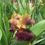 Tall Bearded Iris 7a (For my File) (Bearded Iris)