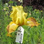 Tall Bearded Iris My Mustard C (For my File) (Iris germanica (Orris))