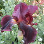 Tall Bearded Iris Velore (For my File) (Iris germanica)