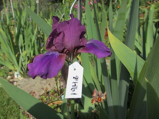 Intermediate Iris (For my File) (Iris)