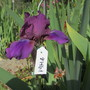 Intermediate Iris (For my File) (Iris)