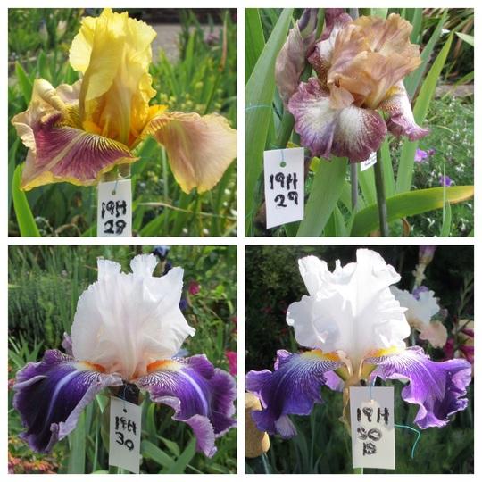 Tall Bearded Iris 19H28 to 30 (Iris germanica)