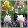 Tall Bearded Iris 19H28 to 30 (Bearded Iris)