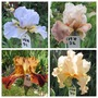 Tall Bearded Iris 19H31 to 34 (Bearded Iris)