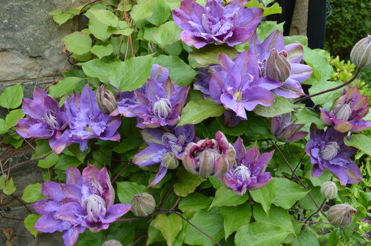 Clematis, Vivian Pennell (Clematis, Vyvyan Pennell)