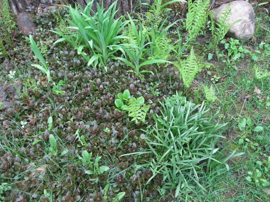 Ajuga, ferns, English Bluebells