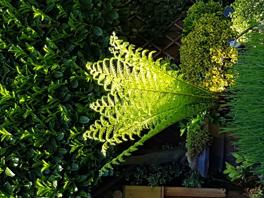 Tree fern  (Dicksonia antarctica (Soft tree fern))