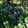 Hesperis and Cow Parsley