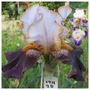19H38 Iris (For my File) (Iris germanica (Orris))