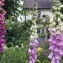 The glorious fox glove