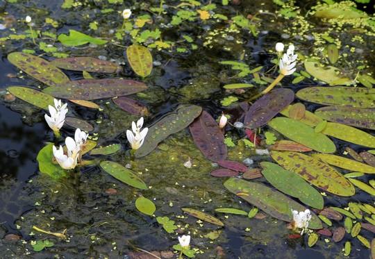 My Water Hawthorn... (Aponogeton distachyos (Water hawthorn))