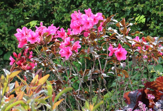 Rhododendron 'Ebony Pearl' with it's bronzy foliage.