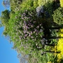Solanum crispum (Chilean potato tree)