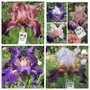Tall Bearded Iris 29H35 to 38 (Iris germanica (Orris))