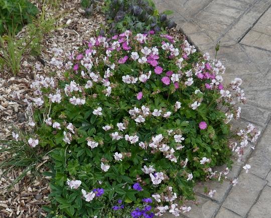 Geranium x cantabrigiense 'Biokovo' - 2019 (Geranium x cantabrigiense)