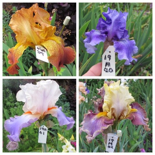 Tall Bearded Iris 19H39 to 42 (Iris germanica (Orris))