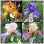 Tall Bearded Iris 19H39 to 42 (Iris germanica (Orris))