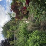 New sunken garden entrance (Phlomis russeliana (Phlomis))