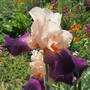 Iris My Rose & Purple (For my File) (Iris germanica (Orris))