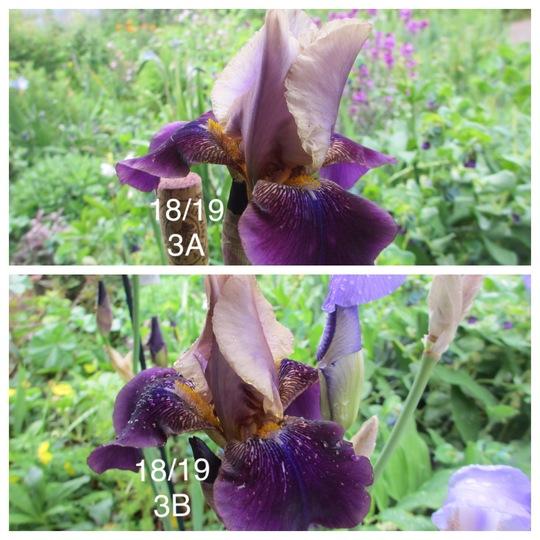 Tall Bearded Iris Smokey Plicata (Iris germanica (Orris))
