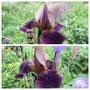Tall Bearded Iris Smoky Plicata (Iris germanica (Orris))