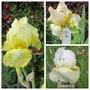 Bearded Iris My Lemon1 & 2B (Iris germanica (Orris))