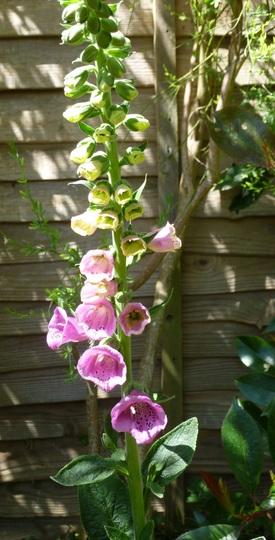 Digitalis purpurea 'Sugar Plum' (Digitalis purpurea (Common foxglove))