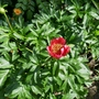 Paeonia peregrina 'Otto Froebel' - 2019 (Paeonia peregrina)