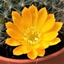 Rebutia fiebrigii - closeup of flower