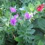Erodium manescavii (For my File) (Erodium manescavii)