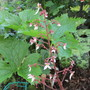 Saxifrage 'Kinky Purple' (Saxifraga stolonifera (Mother Of Thousands))