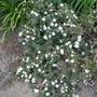 Potentilla fruticosa 'Manchu' - 2019 (Potentilla fruticosa)