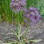 Allium cristophii - 2019 (Allium christophii)